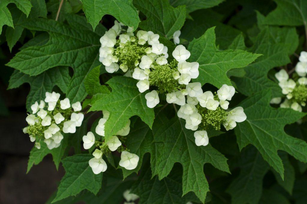Eikenbladhortensia – Hydrangea Quercifolia